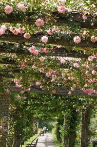 Načrtovanje vrta - Pergola - rožnate vrtnice
