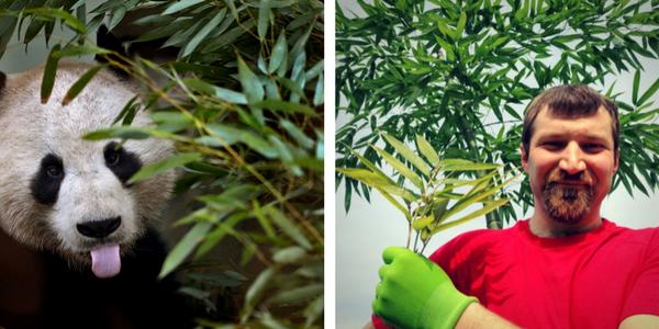 Bambus - izbira, vzgoja in nega, Posadi.si blog