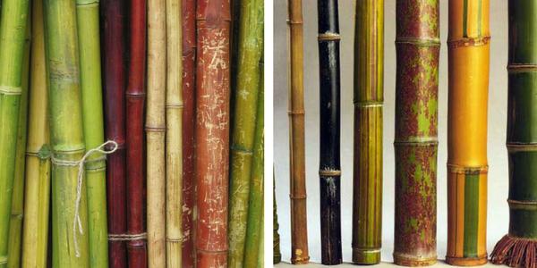 Bambus stebla, različne vrste in barve bambusa