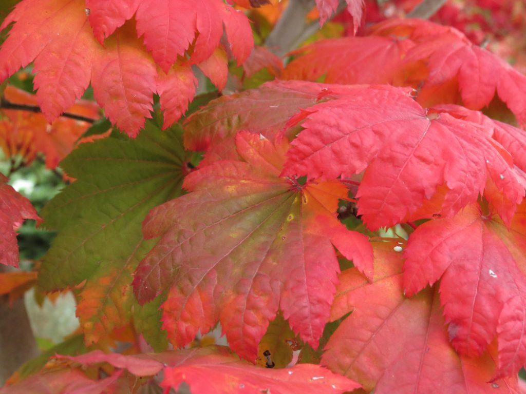 Acer japonicum 'Vitifolium' - Japonski javor