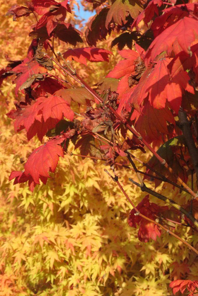 Acer japonicum 'Vitifolium' in Acer palmatum 'Sango Kaku'