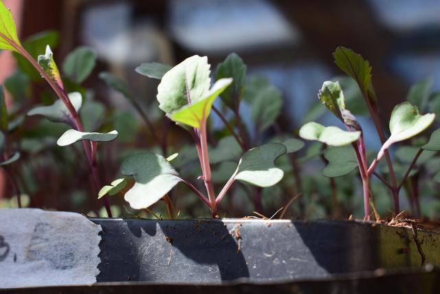 Brigitni vrtičkarski nasveti, posadi.si blog,vrtnarski nasveti, abc vrtičkanja, načrtovanje vrta, domača vzgoja sadik, pikiranje, sadike rdečega zelja, vzoja lastnih sadik,, nega rastlin, zalivanje, vrtnarski nasveti iz Brigitinega vrta