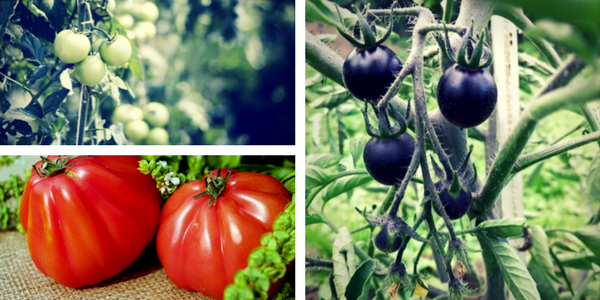 Nasveti za pridelavo paradižnika