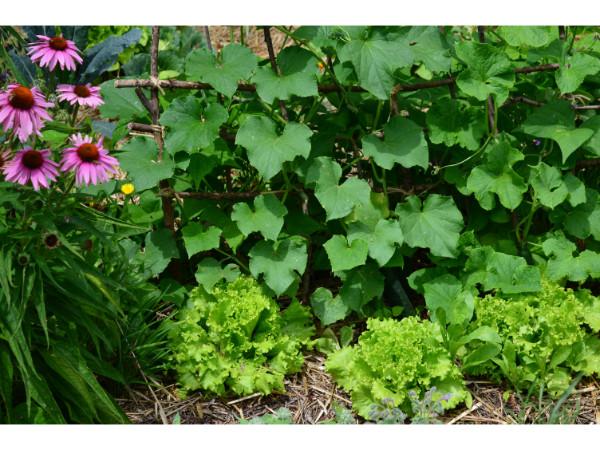 vrt julija, setveni koledar julij, setveni koledar marije thun za julij, opravila na vrtu v juliju, sajenje in presajanje v juliju, kdaj in kako sadimo solato v juliju, poletne sorte solate, katere solate sadimo poleti, odporne solate za poletje