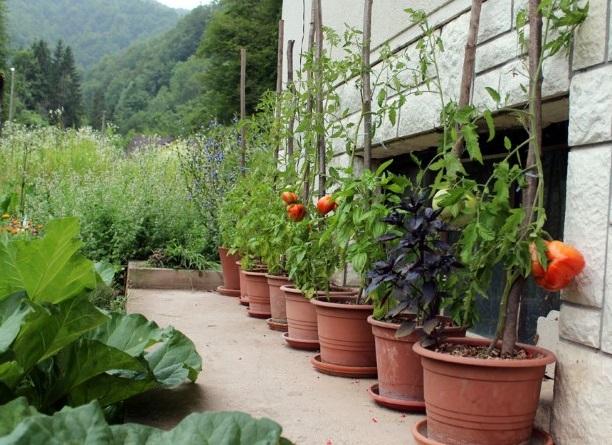 sajenje in gojenje paradižnikov, kako sadimo in gojimo paradižnike