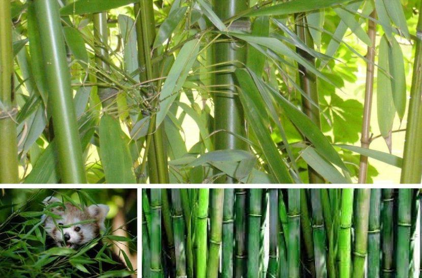 vzgajanje bambusa