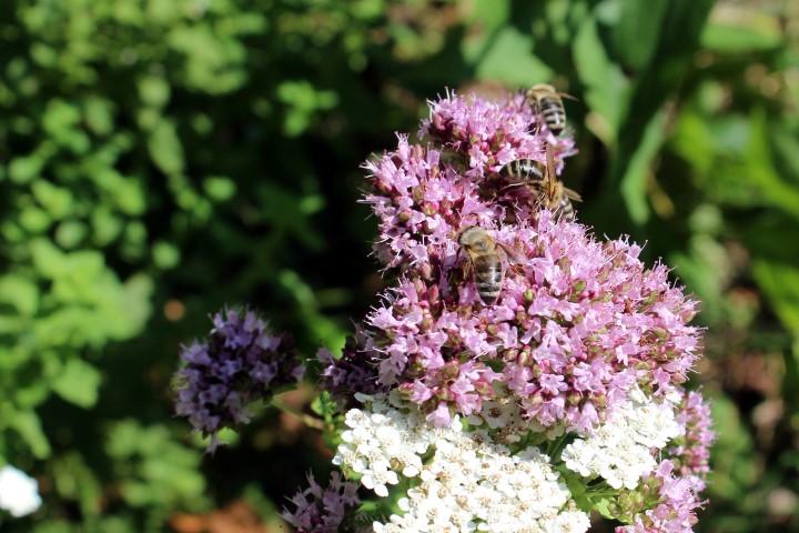 čebelja paša, najboljša paša za čebele