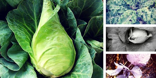 Zelje, ohrovt, kolerabica in ostale kapusnice, ki jih lahko sadimo v septembru
