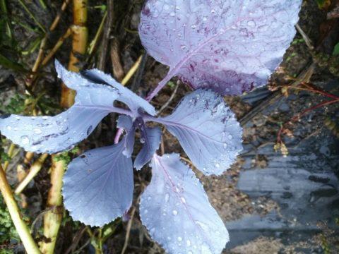 kapusnice, ki jih lahko sadimo v septembru