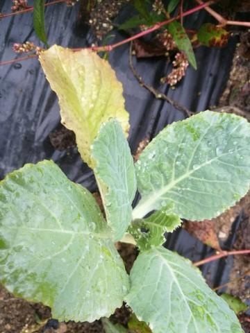 kapusnice, ki jih lahko sadimo v septembru, Ohrovtova melisa ima rastno dobo 80 dni