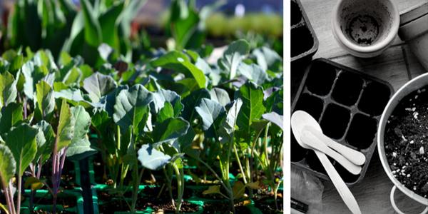 kdaj sadimo cvetačo in brokoli, sajenje cvetače po luninem koledarju, sajenje brokolija in cvetače po koledarju Marije Thun