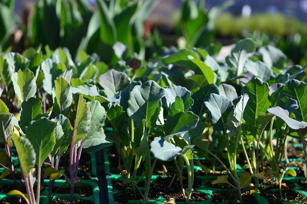 kaljenje brokolija in cvetače, priprava brokolija za kaljenje, kaljenje semen brokolija in cvetače, presajanje brokolija, presajanje cvetače