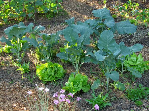 kaj sadimo k brokoliju, dobri in slabi sosdje brokolija, brokoli dobri sosed, solata in brokoli