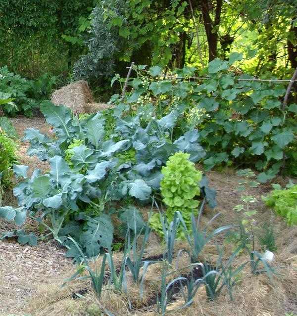 kam posaditi brokoli, brokoli lega na vrtu, ekološko sajenje brokolija
