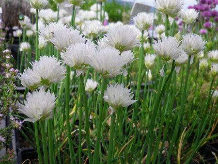 drobnjak, gojenje drobnjaka, drobnjak v lončku, aromatična zelišča, kako gojiti drobnjak, nasveti za gojenje drobnjaka