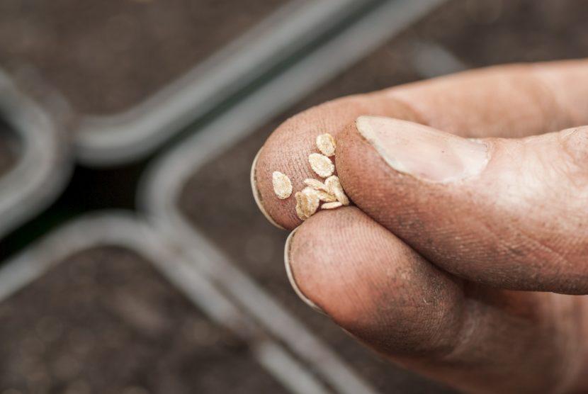 seme paradižnika, kaljivost, življenjska doba semena, vzgoja domačih sadik