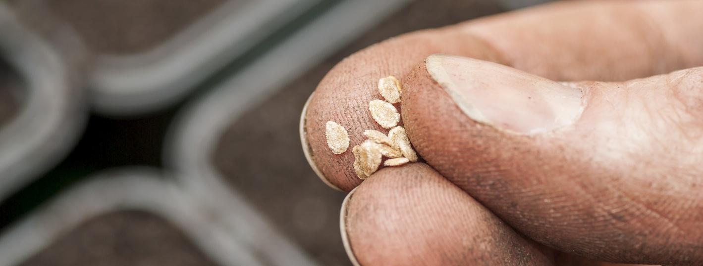 l'orto, seme di pomodoro, germinazione