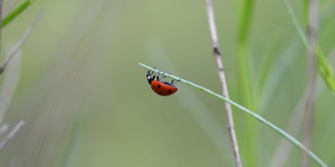 škodljivci na vrtu, koristne žuželke, ekološki vrt, naravno vrtnarjenje