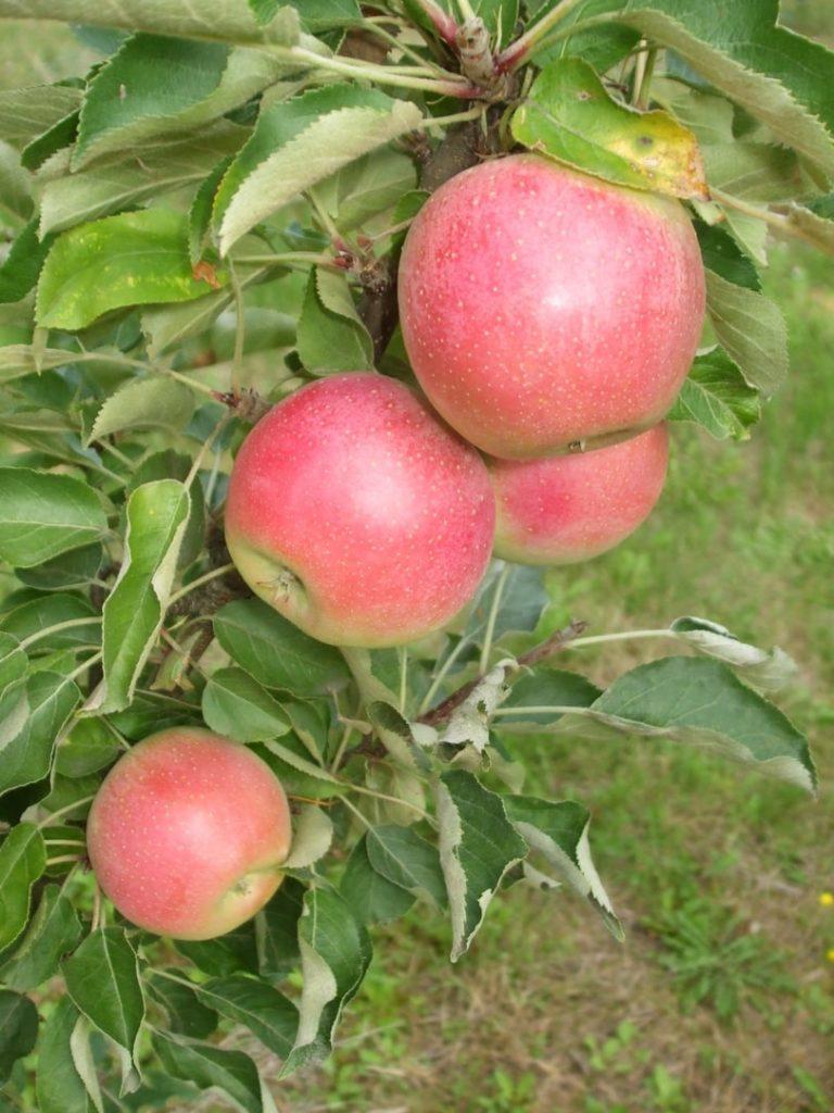 pritlikave sorte jablan, jabolka ki jih lahko sadimo v lonec, pritlikave jablane
