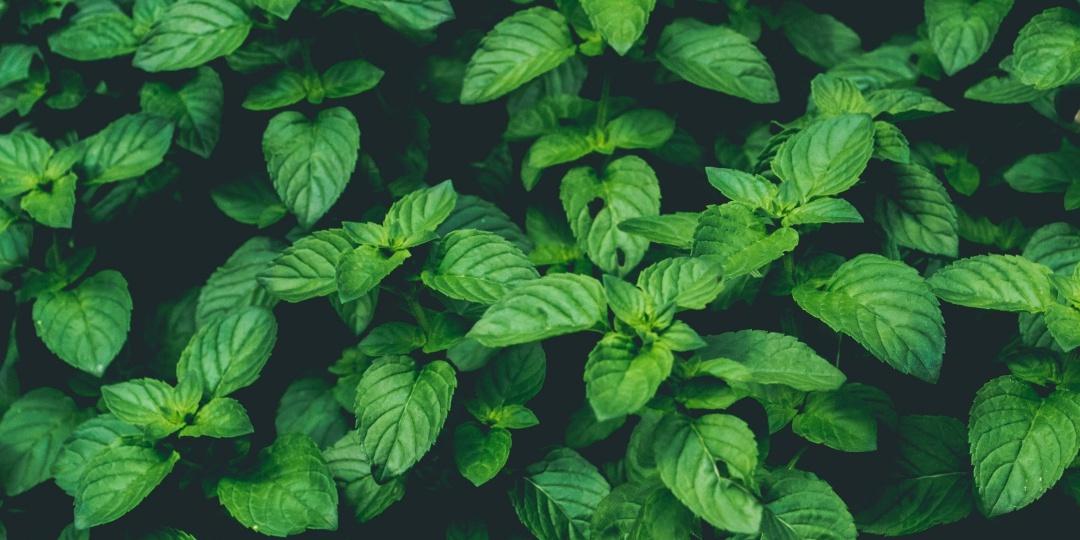 poprova meta, odganja škodljivce, pepermint, ekološki zelenjavni vrt
