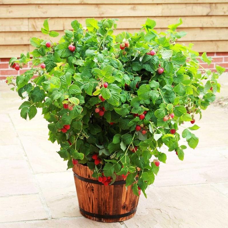ruby beauty nizka malina, maline v loncih, kako saditi maline v lonce, mailine na balkonu, katere sorte malin dobro obrodijo