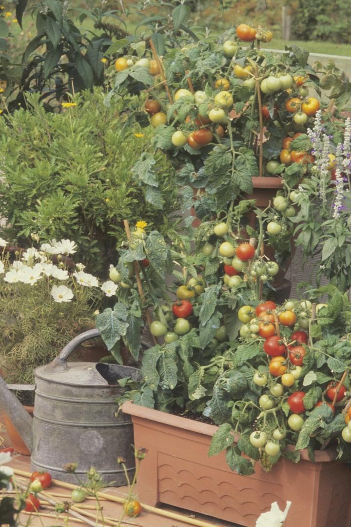 balkonski vrt, lonci za balkon, paradižnik sadike za na balkon, vrt na balkonu, zelenjava