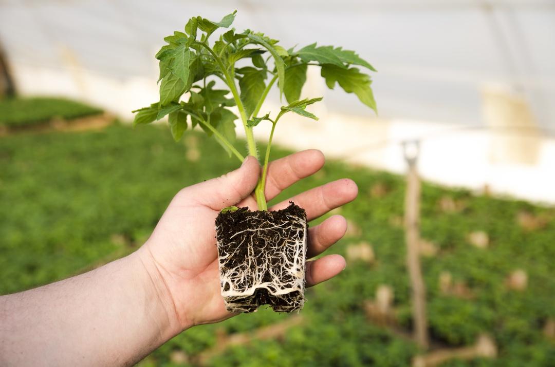 sadike paradižnika, kako presadimo paradižnik, koreninska gruda pri sadiki, sejemo zelenjavo