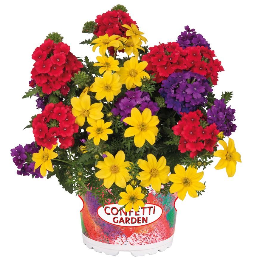 verbenija trajnica, bidens trajnica, balkonske rože trajnice, rastline za balkon