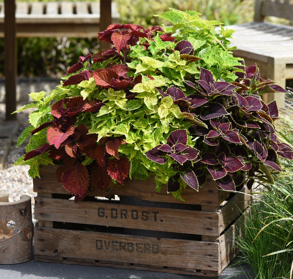 okrasne koprive, rdeče koprive, koprive v vrtu, balkonske rože trajnice, rastline za balkon