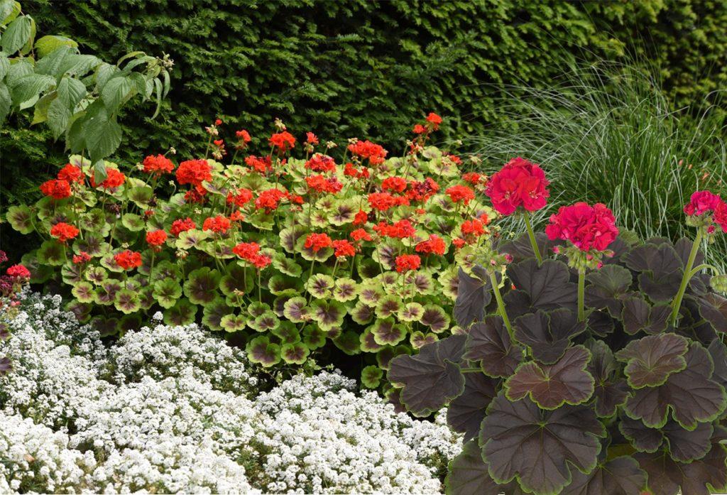 Pokončne pelargonije Brocade, pelargonija classic boneta, pelargonije vrste, pelargonije nega, balkonske zasaditve, ponočne pelargonije