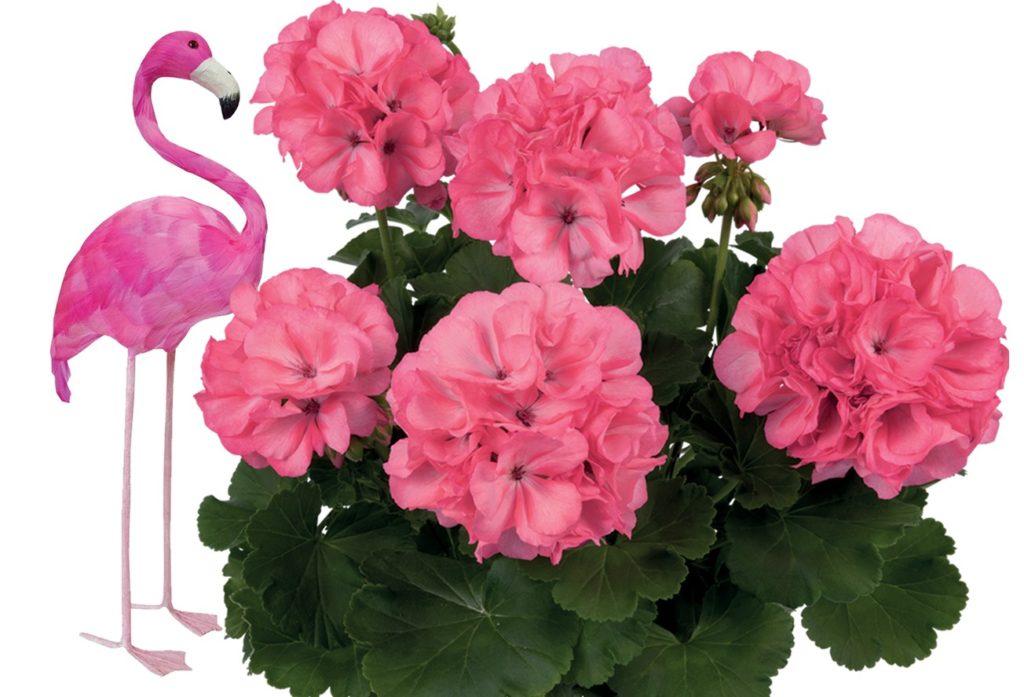 Pelargonija vrste Flamingo. pelargonije vrste, kam saditi pelargonije, pelargonije za sončo in senčno lego