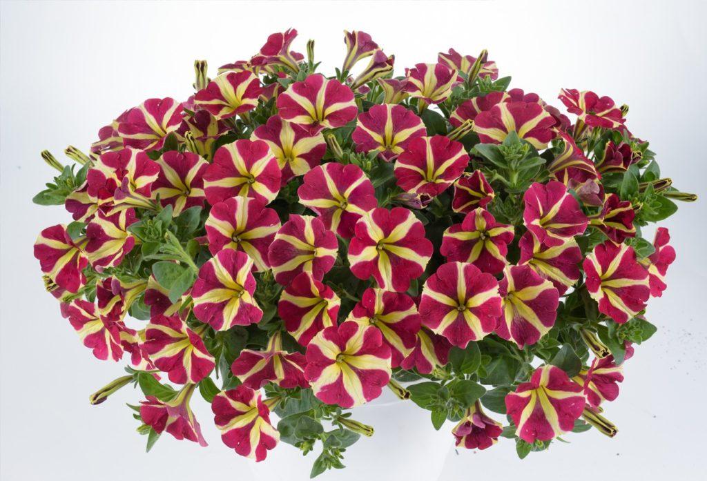 petunija Queen of Hearts, vrste petunij, viseče petunije, petunije na balkonu, balkonske rože petunije