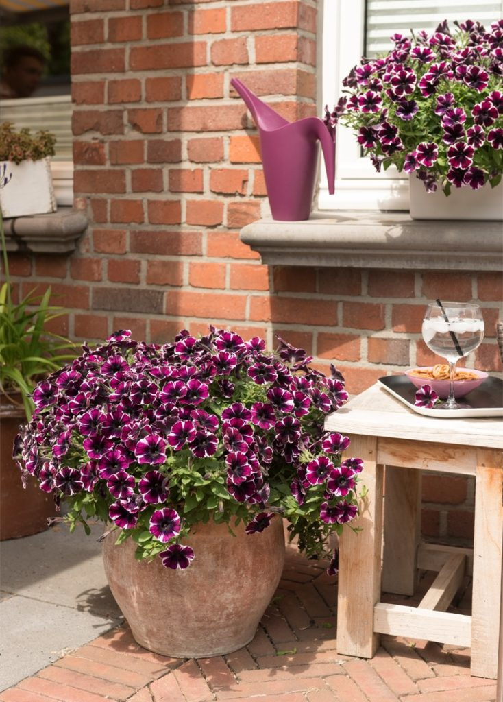 Petunija vrtse Sweetunia Miss Marvelous, petunije barvne kombinacije, petunije za sončne lege, petunije slika