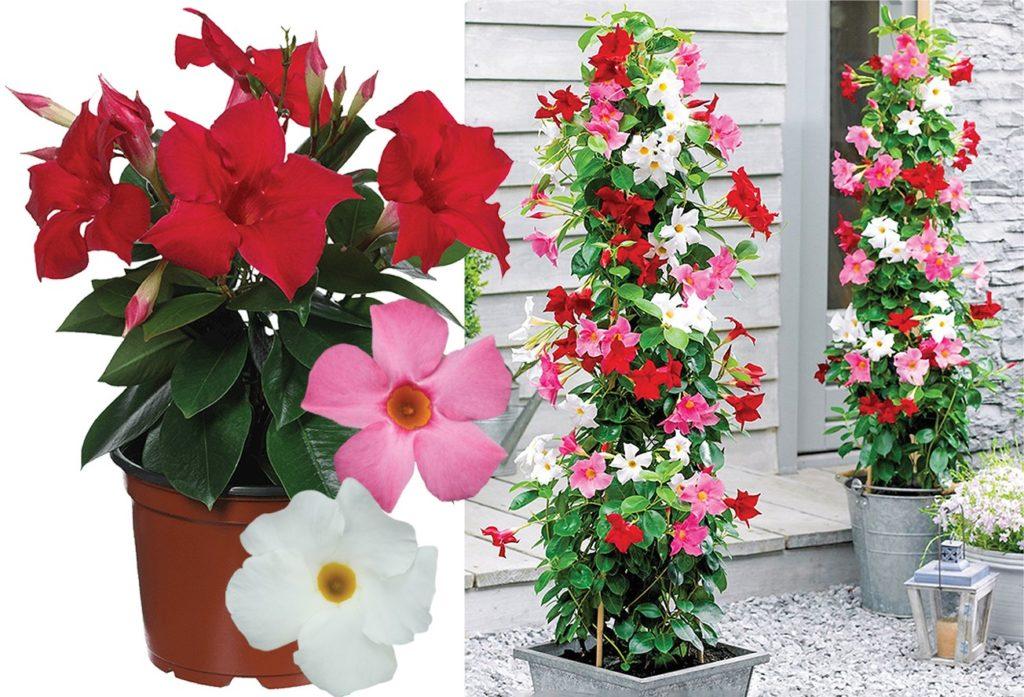 Balkonske rože za vroče sonce, dipladenije, dipladenije nega, dipladenije vzgoja, dipladenije slike