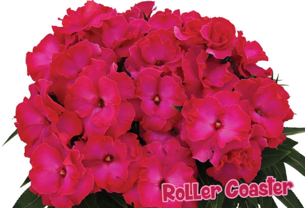 Novogvinejske vodenke, trajnice, rože za balkon in gredo, balkonske rože nezahtevne