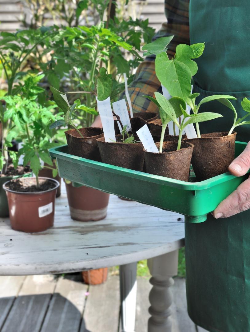 bio sadike zelenjave, ekološke sadike, presajanje zelenjave na vrt, sajenje sadik na prosto, delo na vrtu spomladi