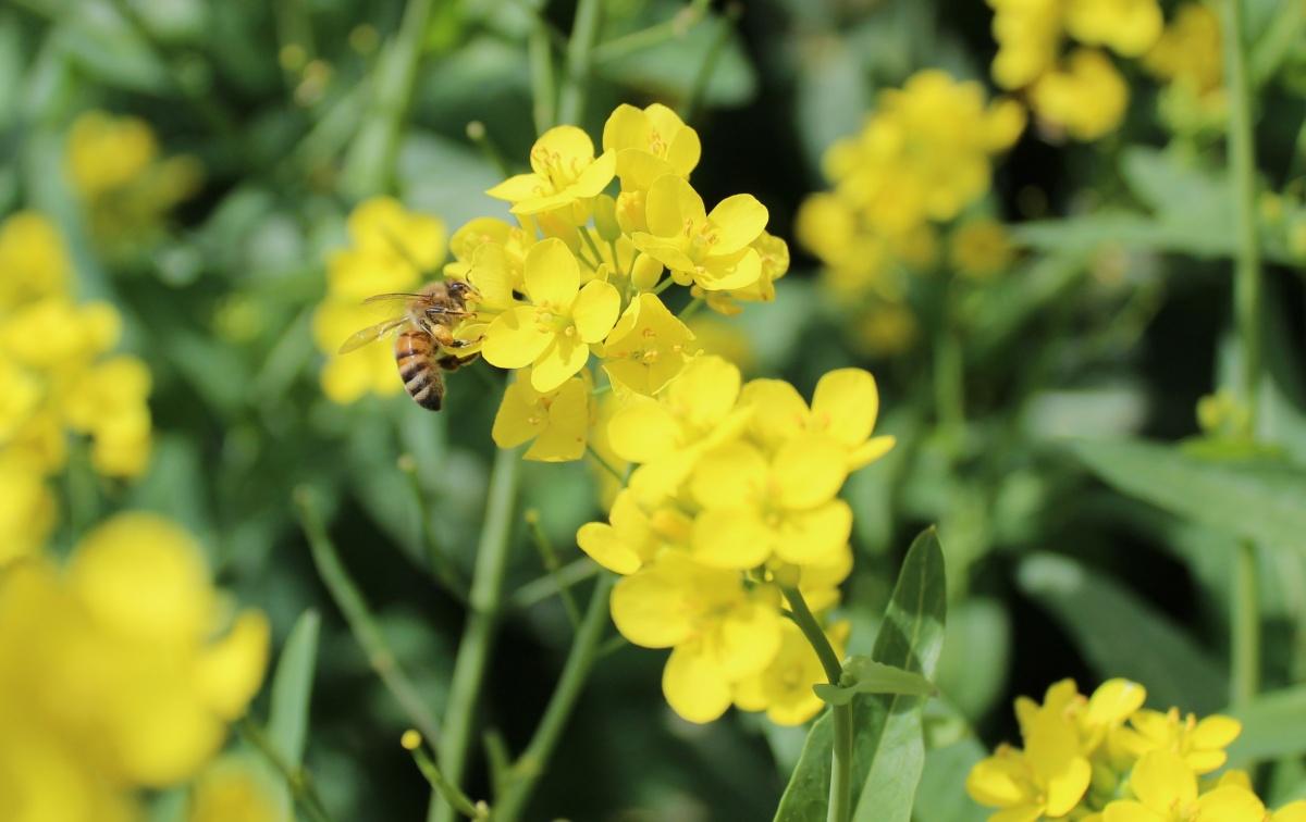 gorjušica zeleno gnojenje kalia semena rastline za zeleno gnojenje