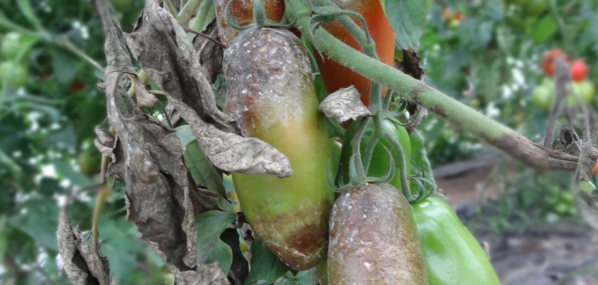 bolezen paradižnika zelenjavni vrt bolezni zelenjave krompirjeva plesen