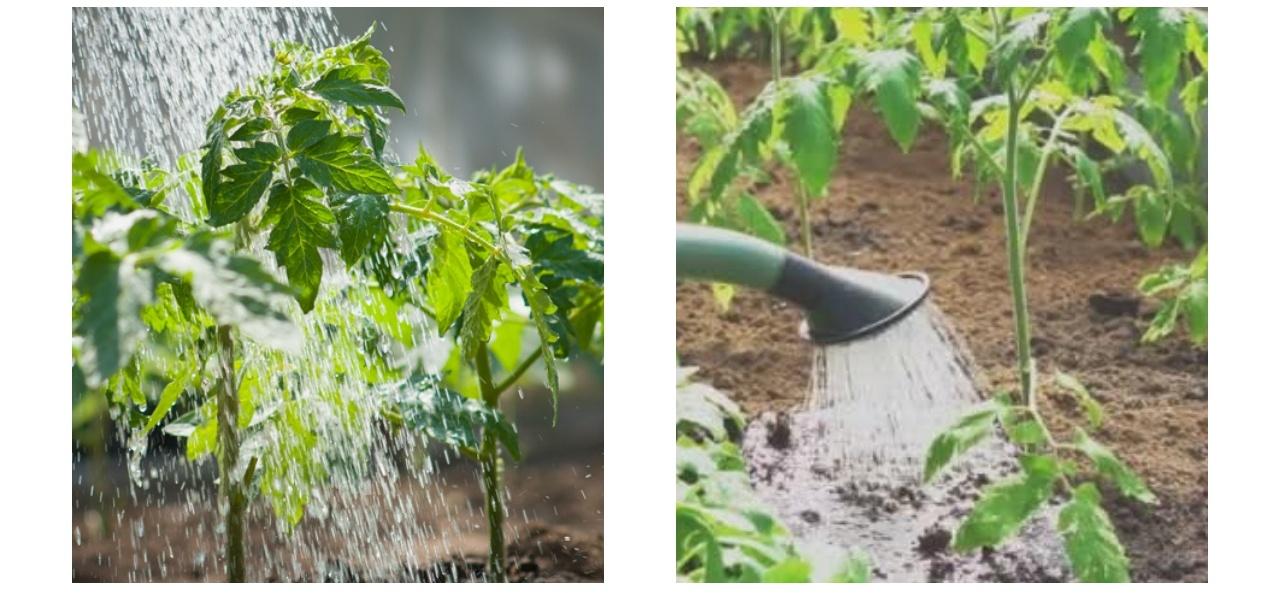 nega paradižnika vzgoja paradižnika kako vzgojimo paradižnik