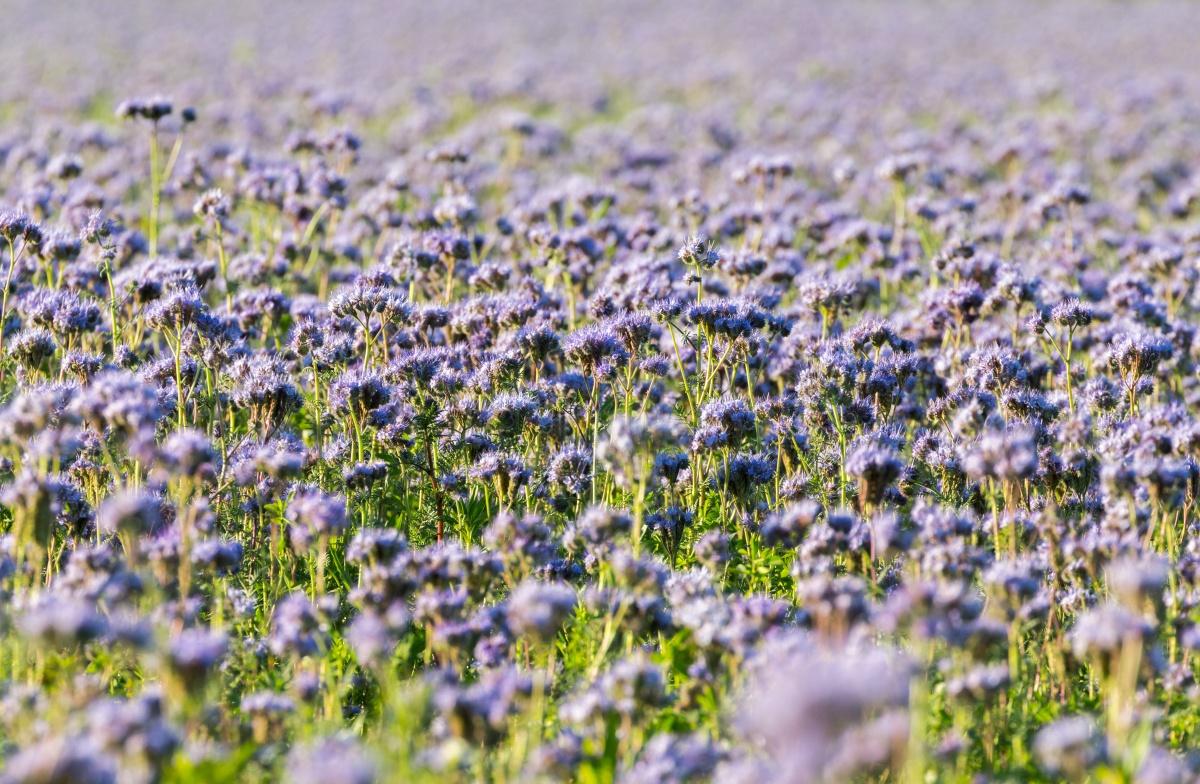 zeleno gnojenje facelija semenarna ljubljana kalia zastirka gnojenje vrta permakultura