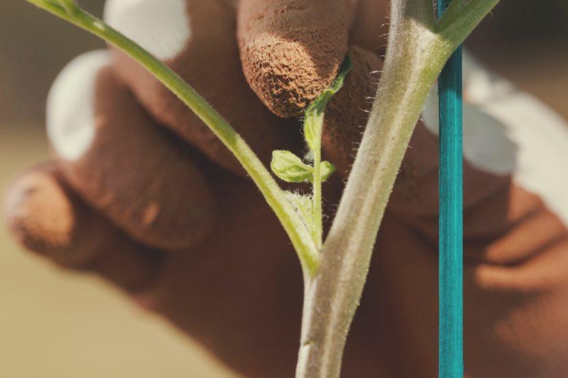 odstranjevanje zalistnikov pri paradižniku vzgoja paradižnika bolezni obrezovanje paradajza zelenjavni vrt