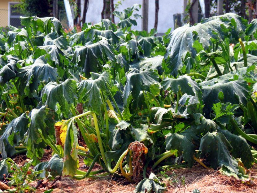 težave na vrtu suša v poletnih dneh uvele rastline buča