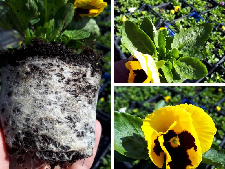 krizanteme in pajki, zasaditve za grob,cvetni aranžma za grob, mineral za rastline, mineral zeleni,zdrav koreninski sistem za obstojnost rastlin