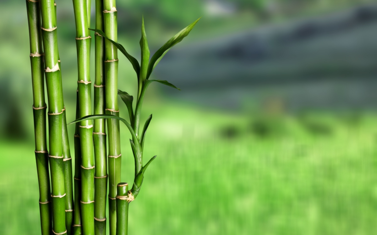 invazivne rastline tujerodna vrsta bambus stebla bambusa