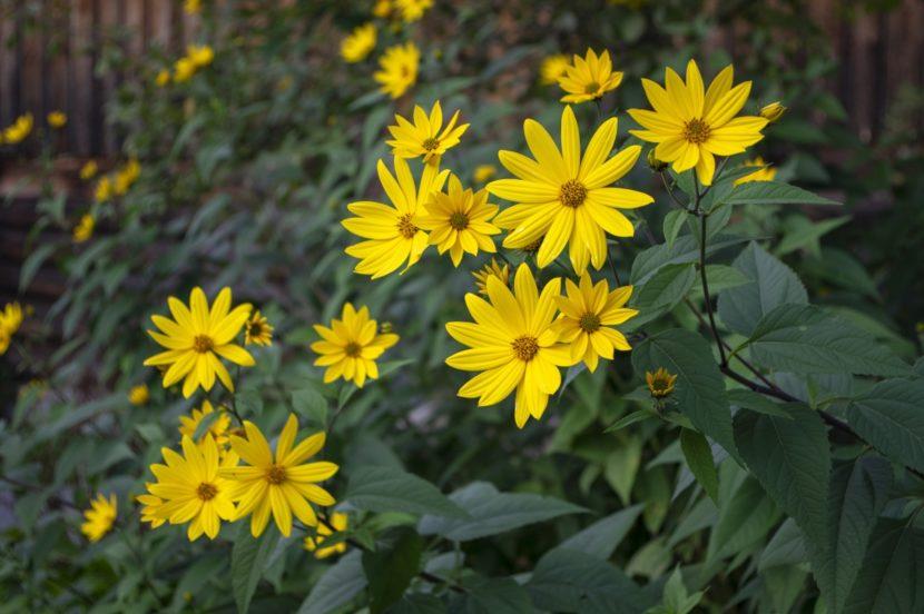 invazivne rastline topinambur cvet topinamburja