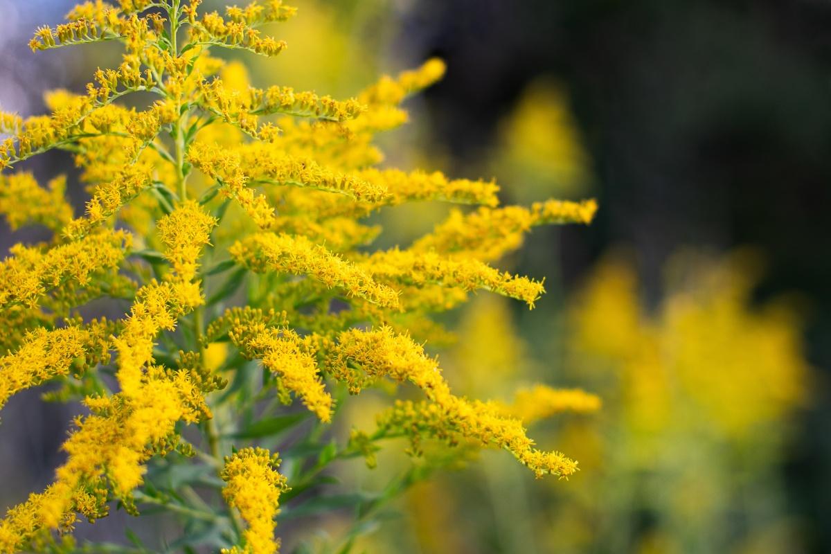 invazivke zlata rozga invazivna vrsta kanadska zlata rozga rumeno cvetje
