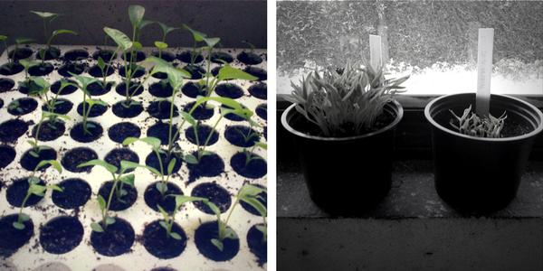 sajenje, presajanje, pikiranje, začetek vrtnarske sezone, februar