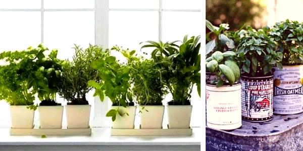 kako vzgojiti zelišča v lončkih, vzgoja zelišč v kuhinji