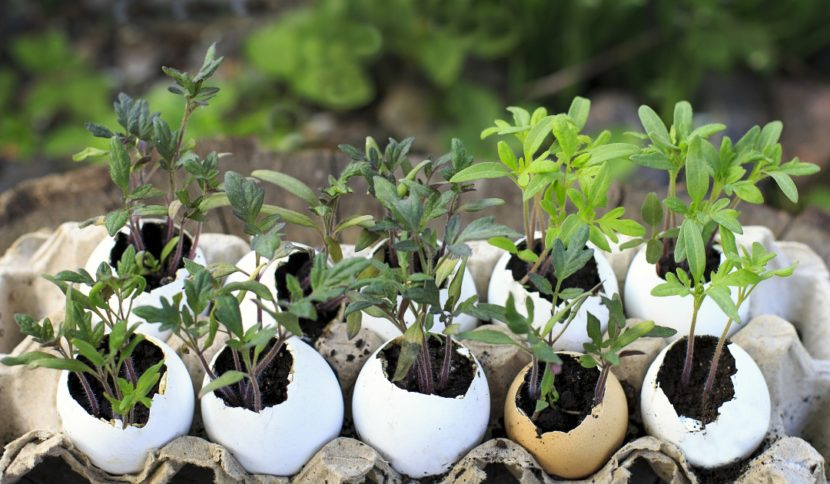 sonaravni vrt, zelenjavni vrt, jajčne lupine, permakultura, sadike zelenjave, sadike paradižnika