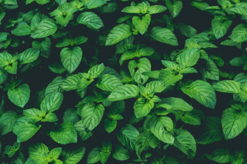 dišavnice, zelišča, začimbe, permakultura, sonaravni vrt, domači vrt, škodljivci